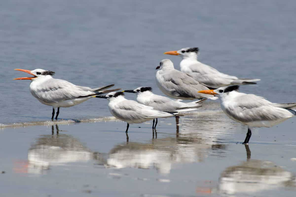 Sandwich Terns (Sterna sandvicensis) and Royal Terns (Sterna maxima), Pungay, Ecuador | ©Angela Drake / Not Your Average American; Ecuador Por Mis Ojos