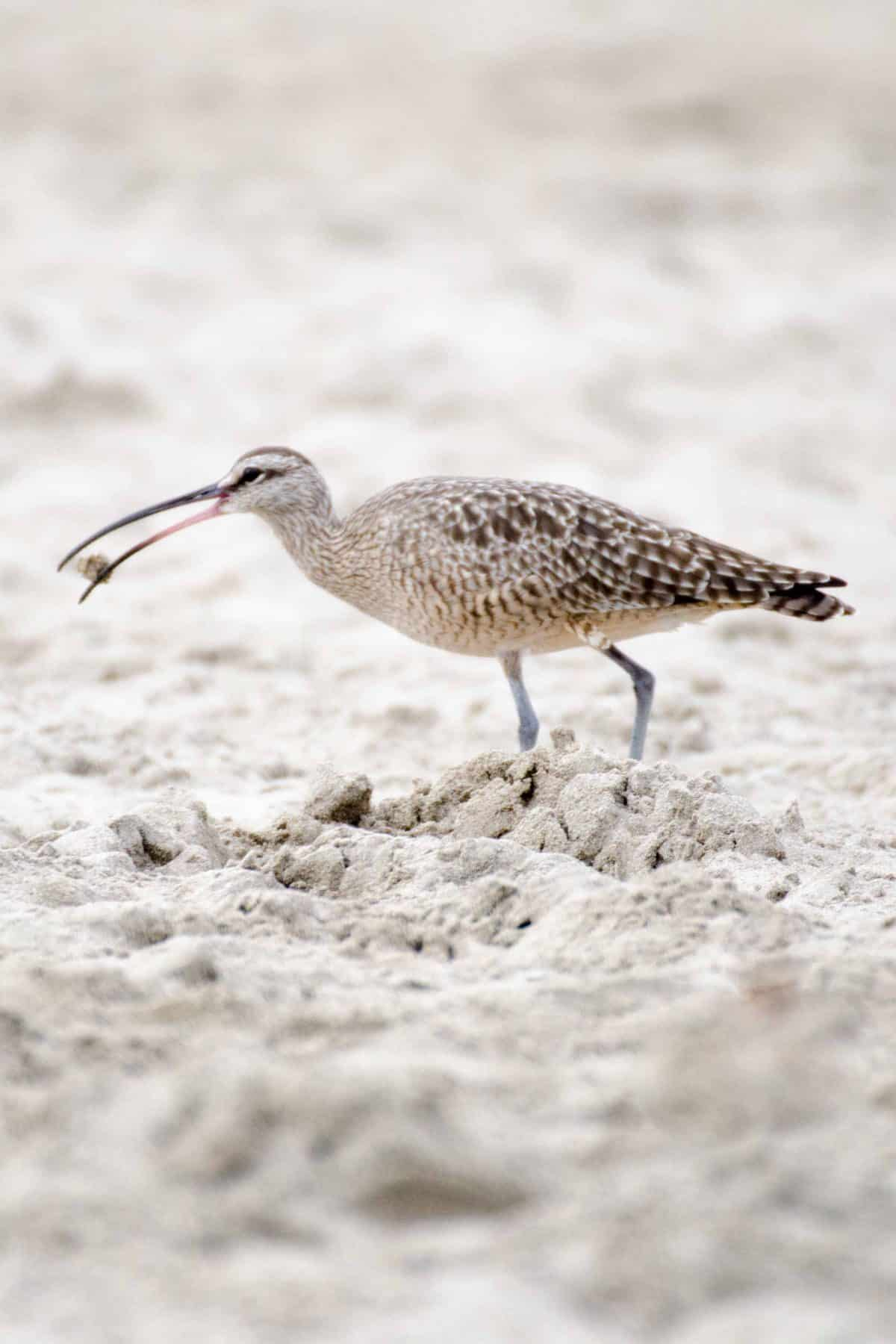 A Whimbrel, Chipipe Beach, Salinas, Ecuador | ©Angela Drake / Not Your Average American; Ecuador Por Mis Ojos