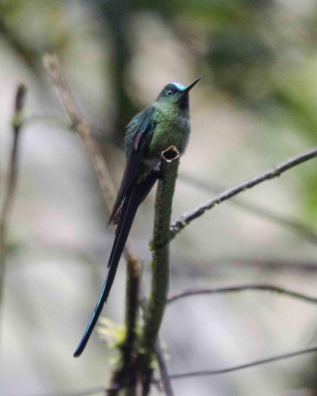 Long-tailed Sylph, Guango Lodge, Ecuador