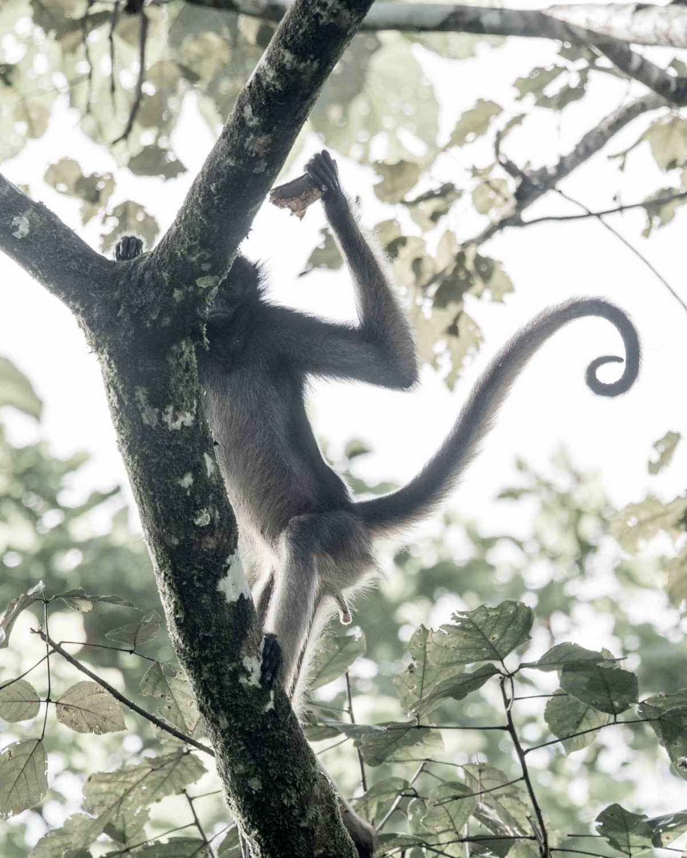 Spider Monkey, Laguna Paikawe, Misahuallí