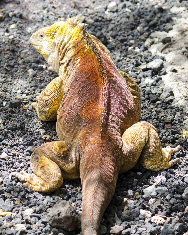 Golden Iguana, Charles Darwin Research Center, San Cruz Island, The Galapagos