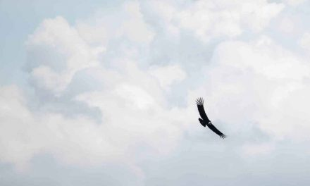 The Andean Condor in Ecuador