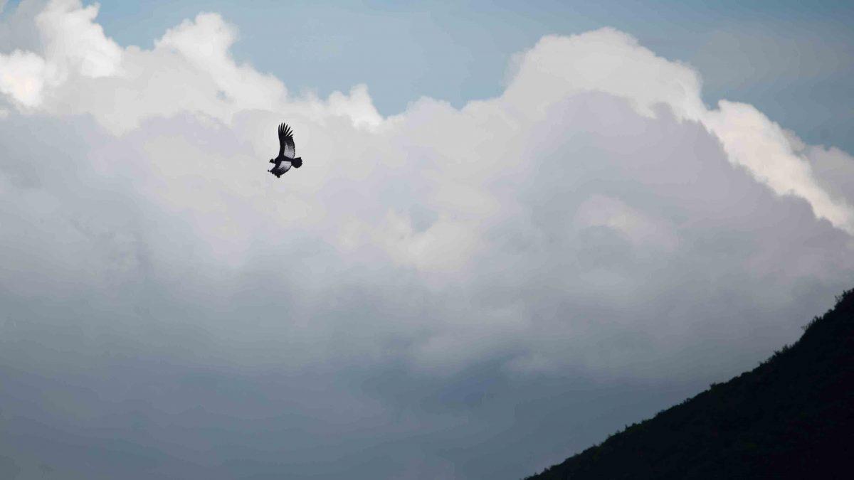 An Andean Condor riding thermals near the Reserva Antisanilla | © Angela Drake