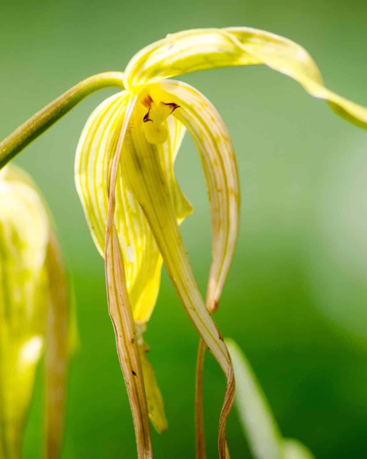 Orchid with Tendrils; El Pahuma Orchid Reserve near Quito, Ecuador | @ Angela Drake