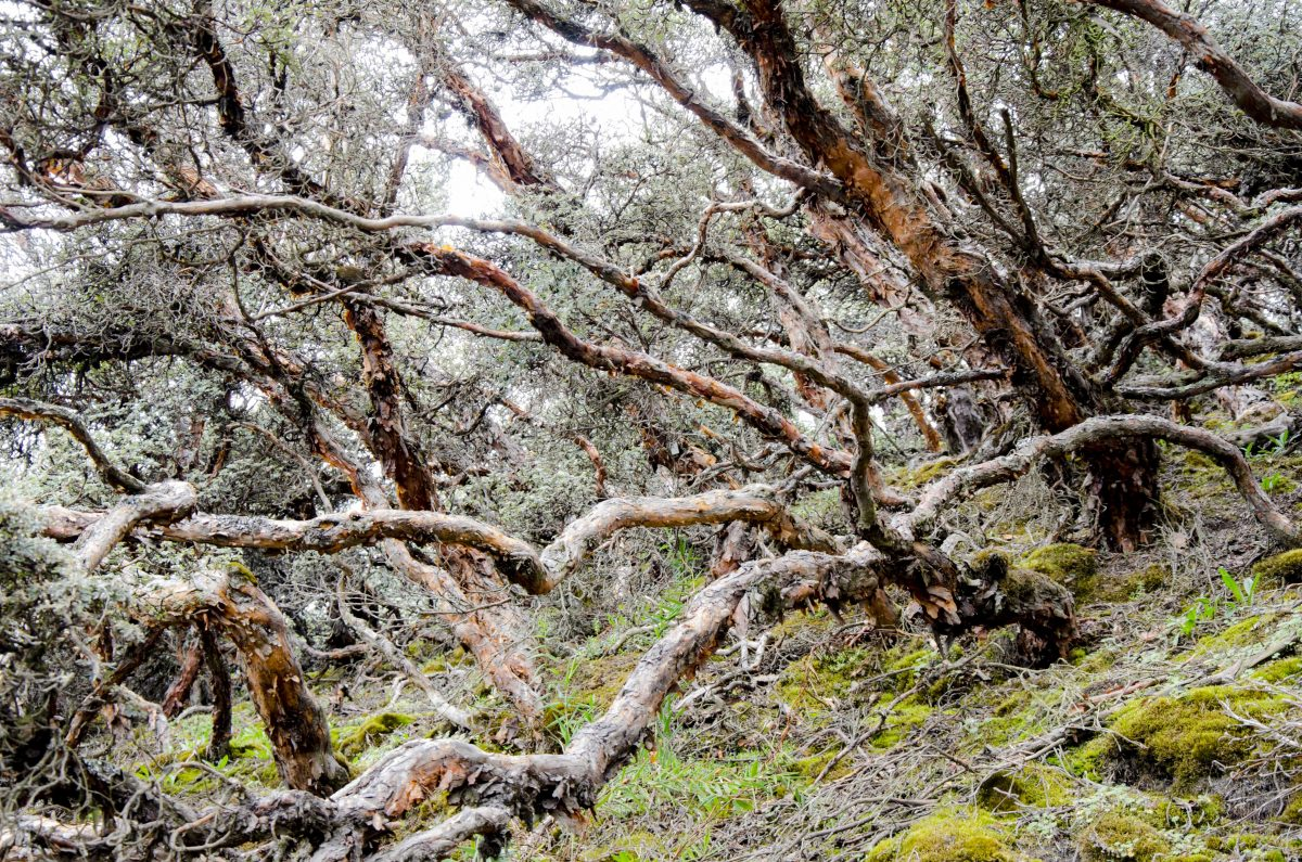 Polylepis Forest, Chimborazo Wildlife Reserve, Ecuador | ©Angela Drake / Not Your Average American