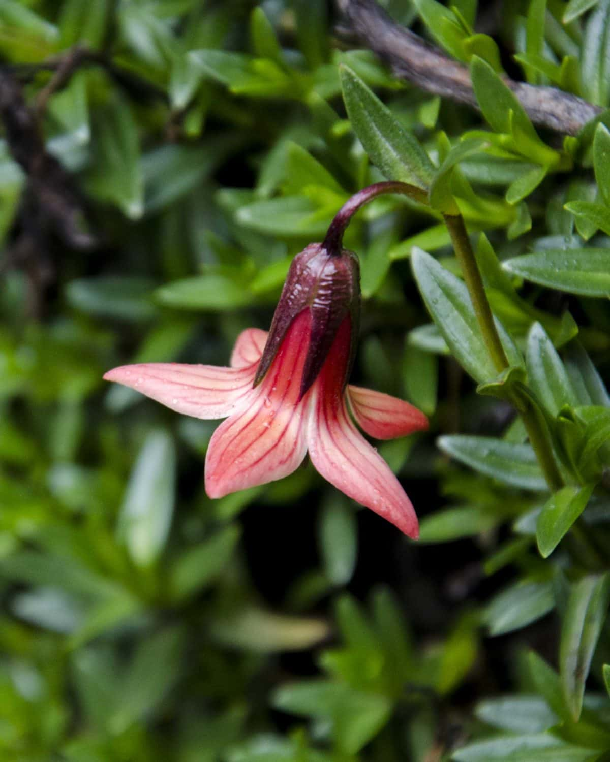 Flower on the Polylepis Trail, Chimborazo Wildlife Reserve, Ecuador | ©Angela Drake / Not Your Average American