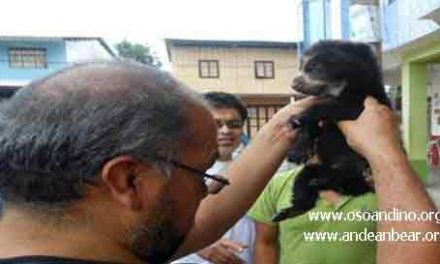 Saving Pinocchio the Ecuadorian Andean Bear