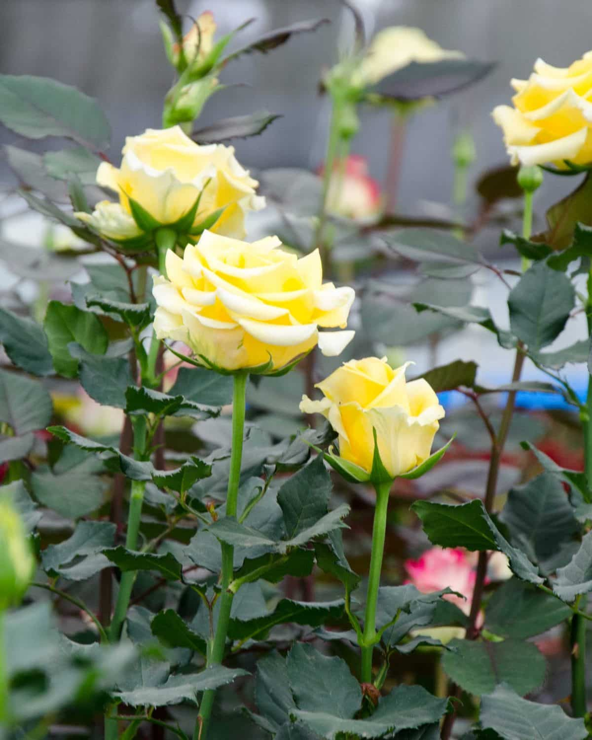 Yellow Roses, Pichincha Province, Ecuador | ©Angela Drake / Not Your Average American