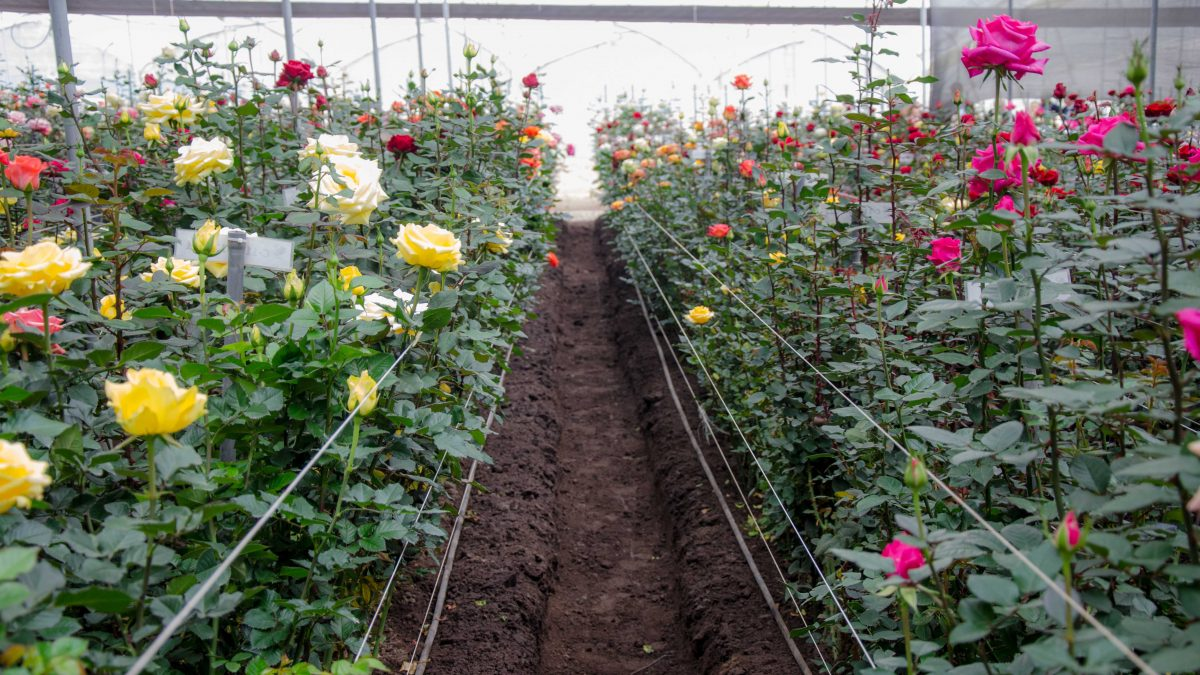 Greenhouse Roses, Pichincha Province, Ecuador | ©Angela Drake / Not Your Average American