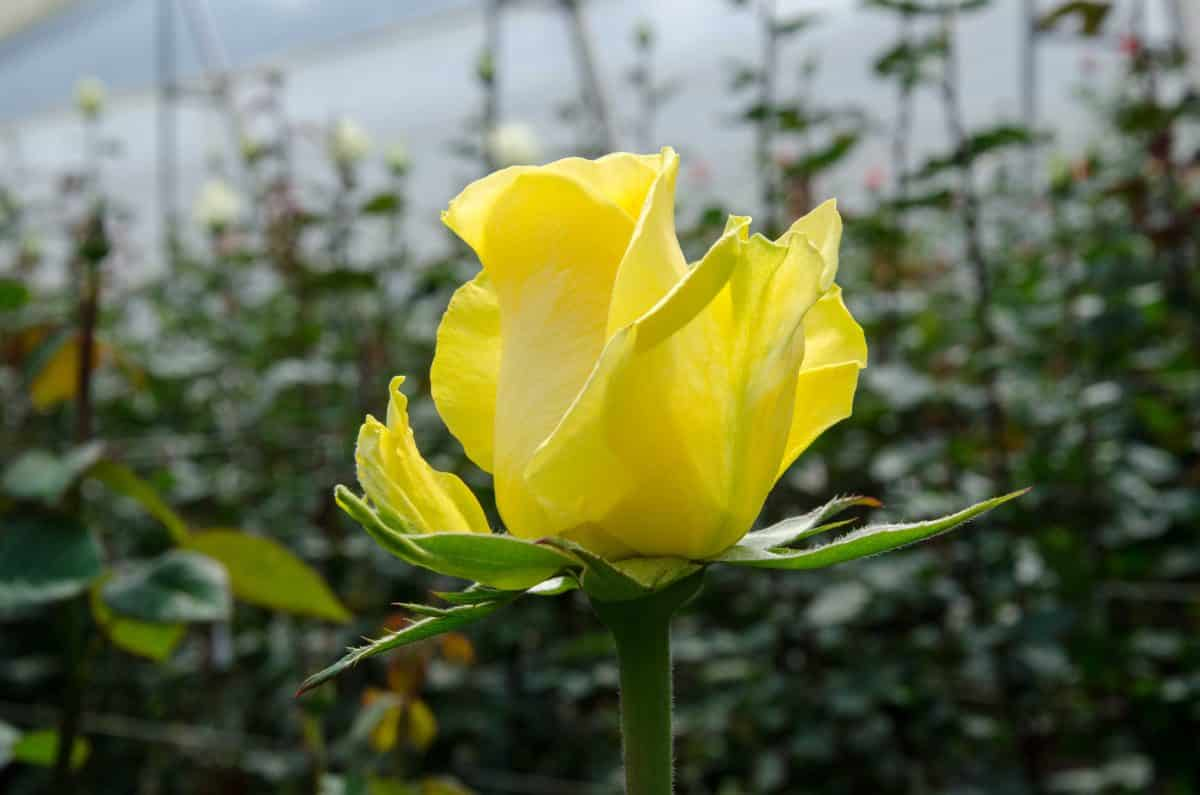 A Yellow Rose, Pichincha Province, Ecuador | ©Angela Drake / Not Your Average American