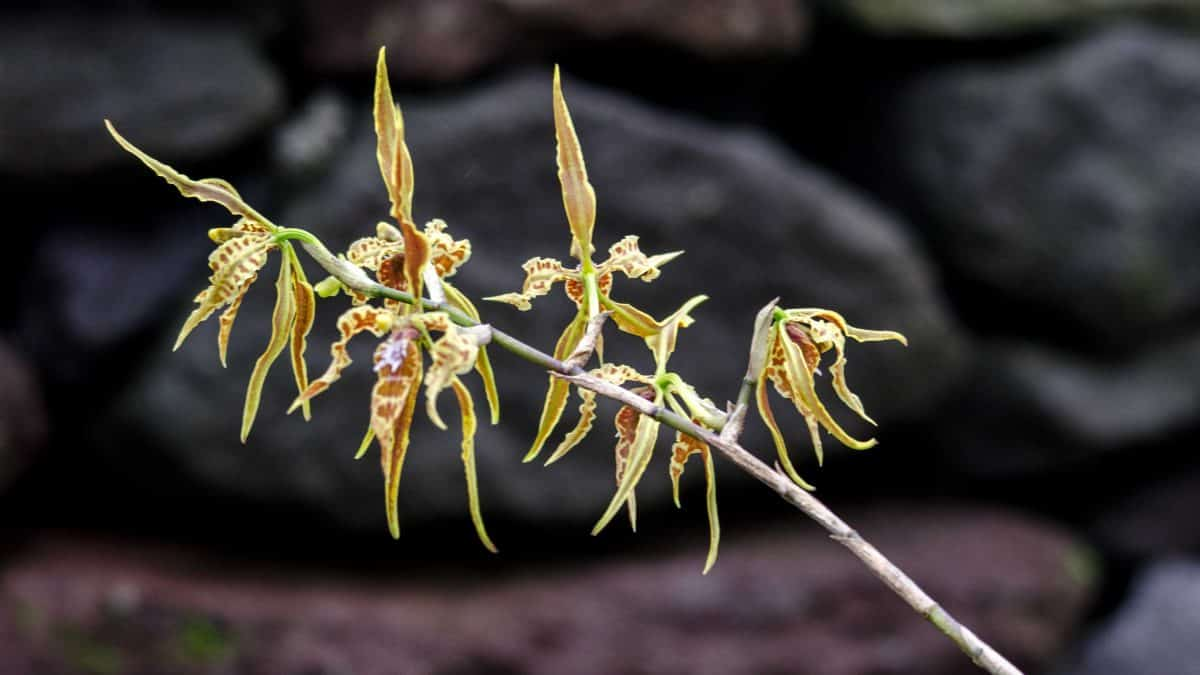 Orchids from the Yanacocha Reserve, December 2015 | ©Angela Drake