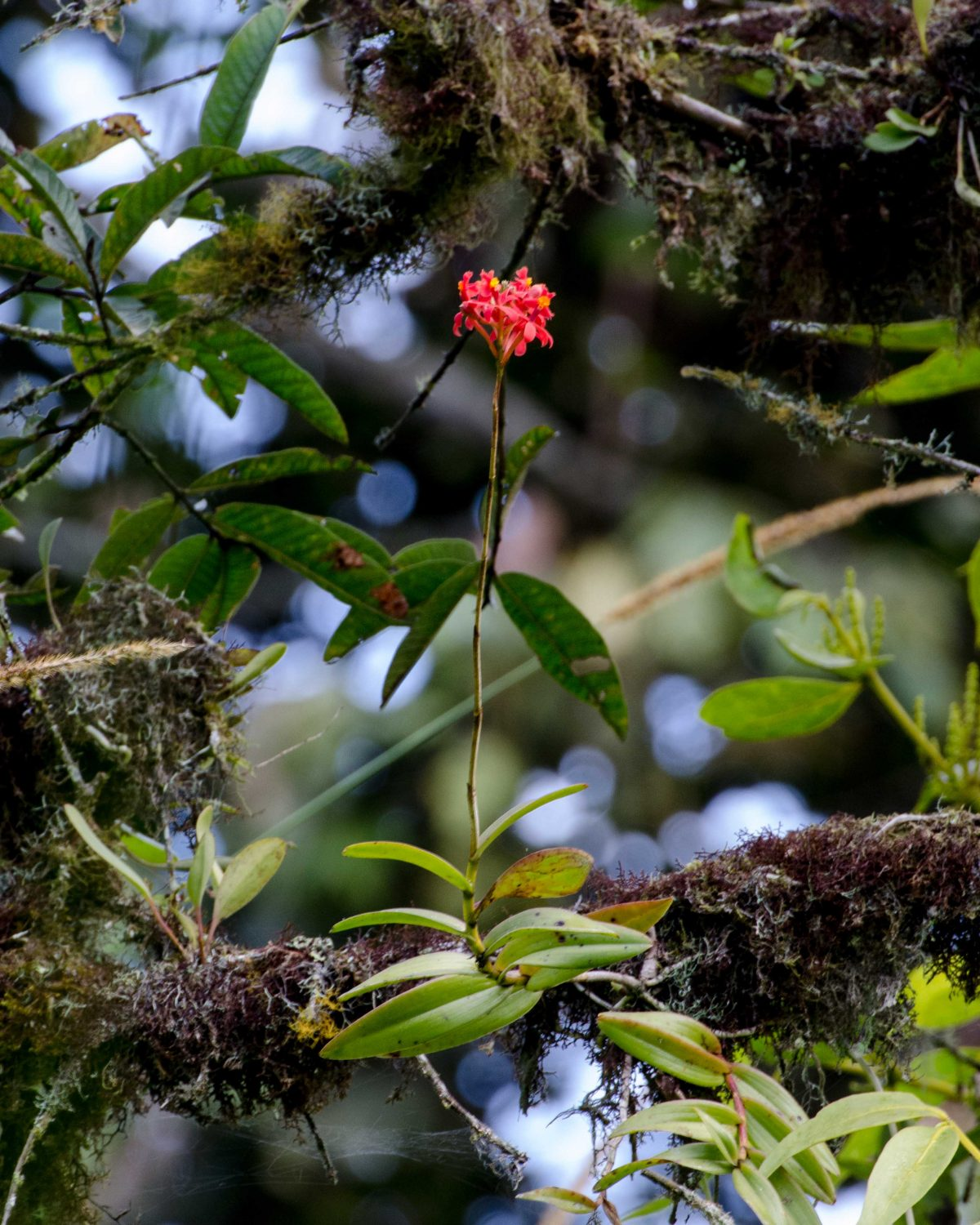 Orchids in a tree, San Jorge de Tandapaya, September 2015 | ©Angela Drake