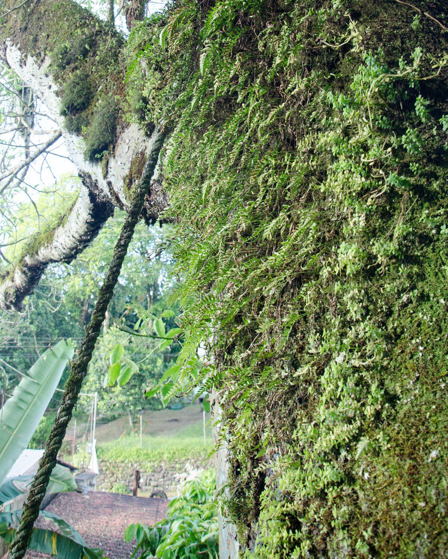 Fern and Moss on the Oldest Ceibo Tree, San Cristobal, Ecuador | ©Angela Drake