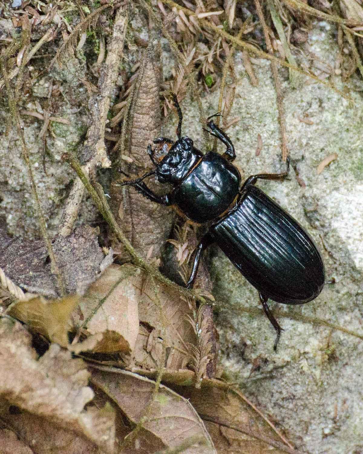 Escarabajo no identificado visto en el Ecolodge San Jorge de Tandayapa | © Angela Drake