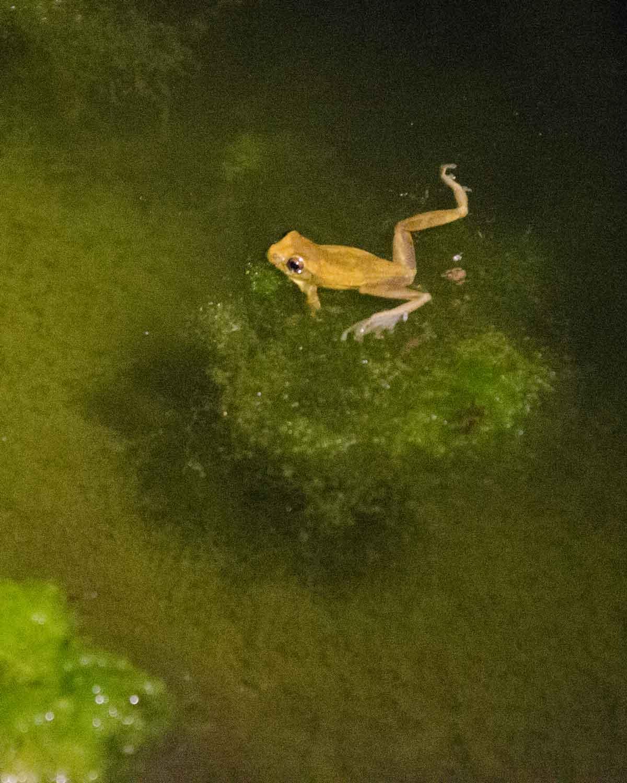 Una rana no identificada vista en el Ecolodge San Jorge de Tandayapa | © Angela Drake