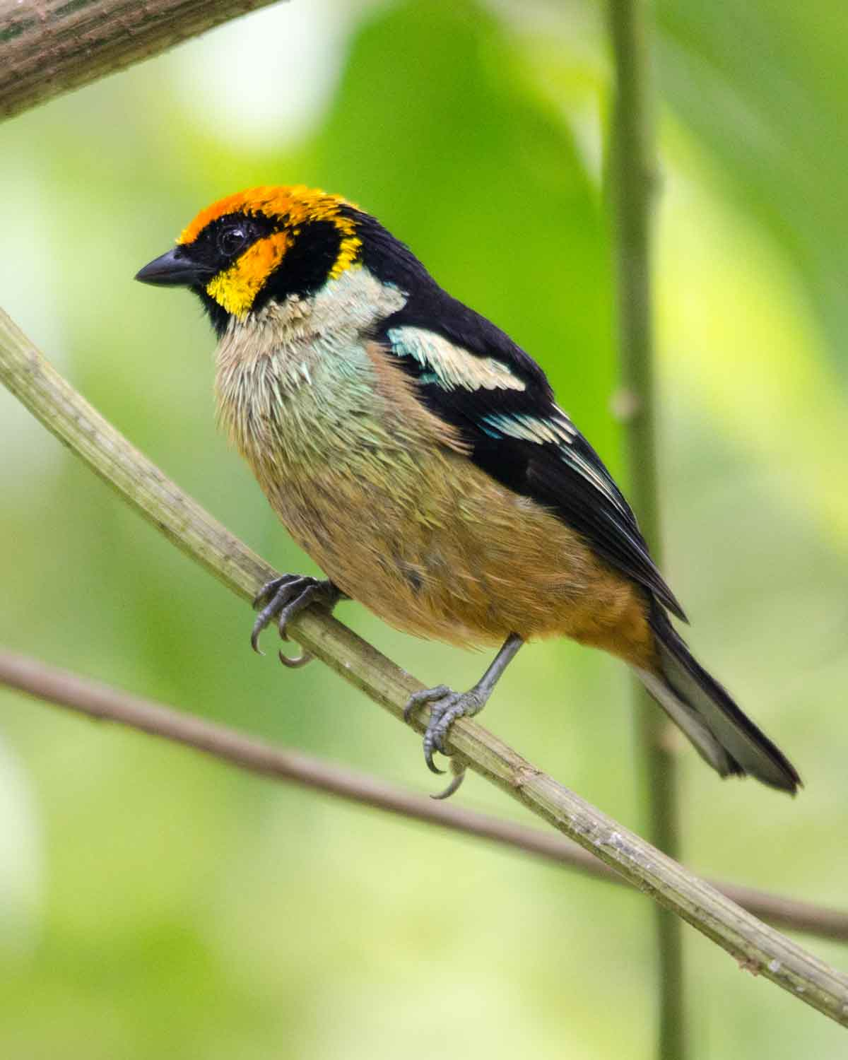A Flame-faced Tanager seen at the Refugio de Paz Reserve | ©Angela Drake