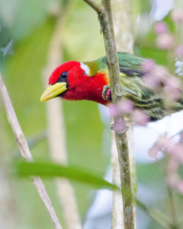 Toucan Barbet | ©Angela Drake