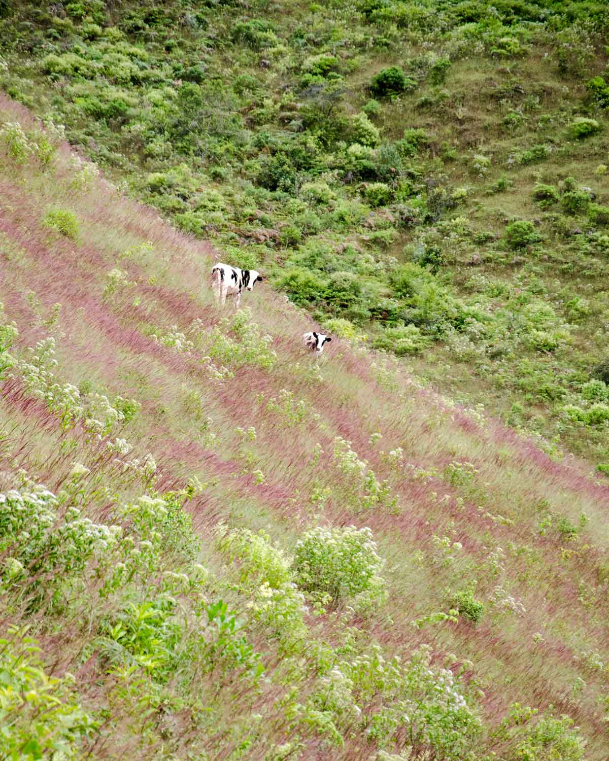 Cows grazing in a field tinted purple by yaragua, Vilcambamba, Ecuador | ©Angela Drake