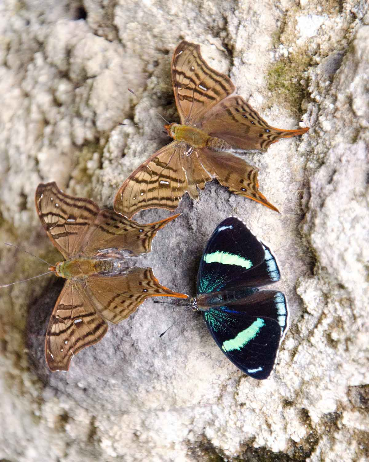 Unidentified butterflies seen on the Nono-Mindo Road | ©Angela Drake