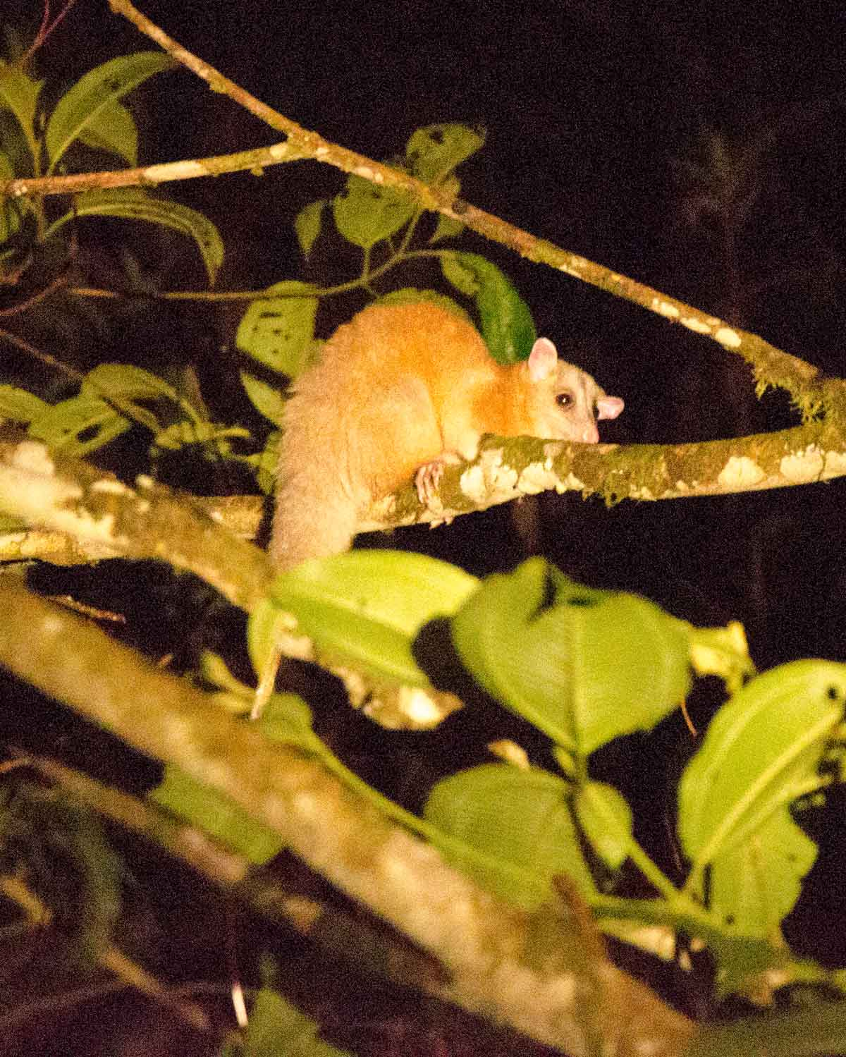 A White-eared Opossum seen at the Ecolodge San Jorge de Milpe | ©Angela Drake