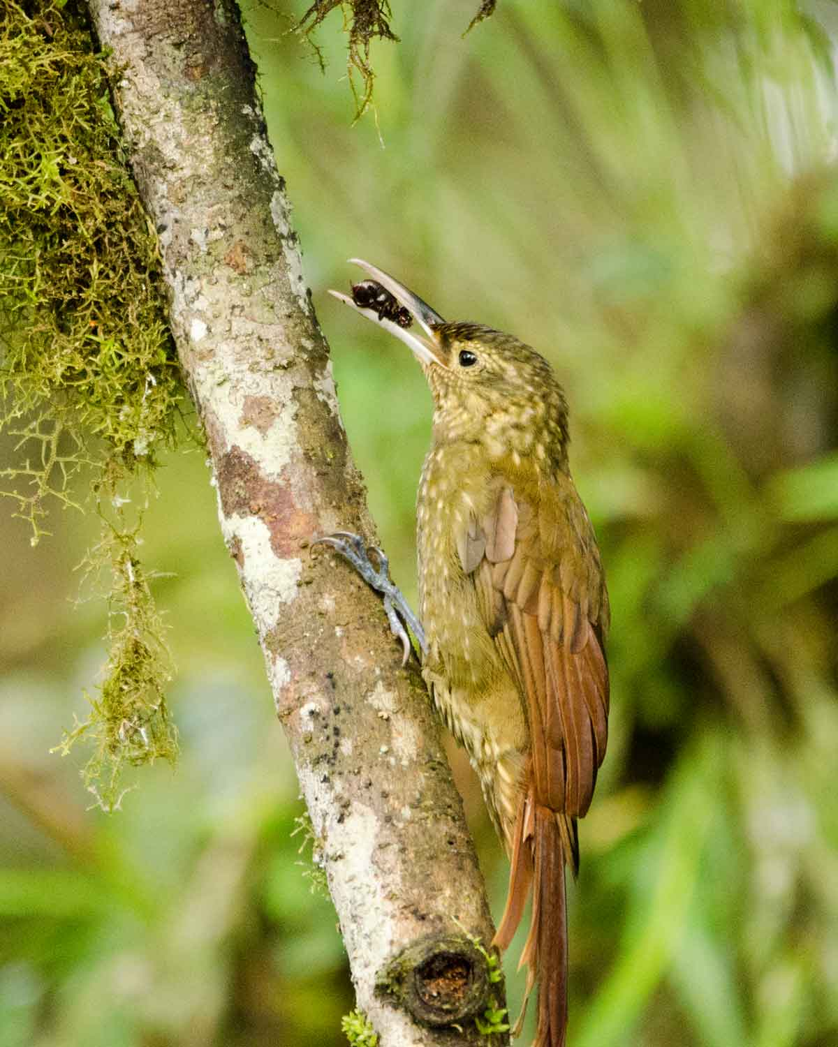 A Strong-billed Woodcreeper seen at the Ecolodge San Jorge de Milpe | ©Angela Drake