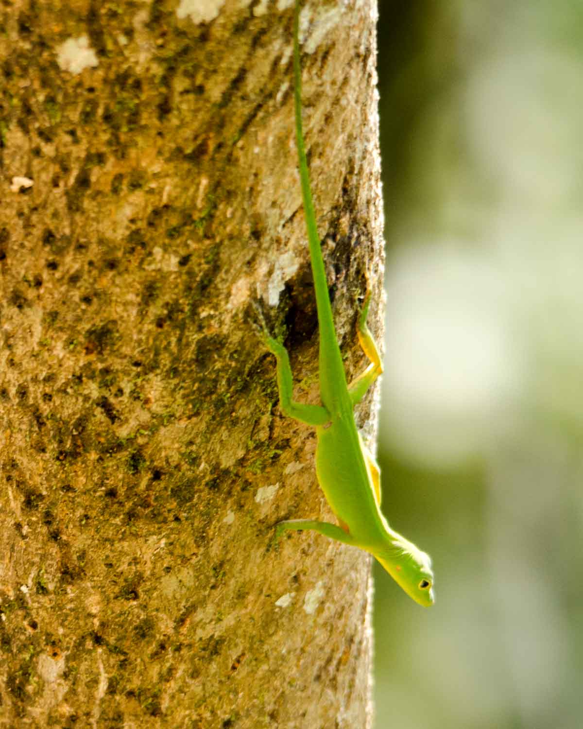 An unidentified anole lizard seen at the Ecolodge San Jorge de Milpe | ©Angela Drake