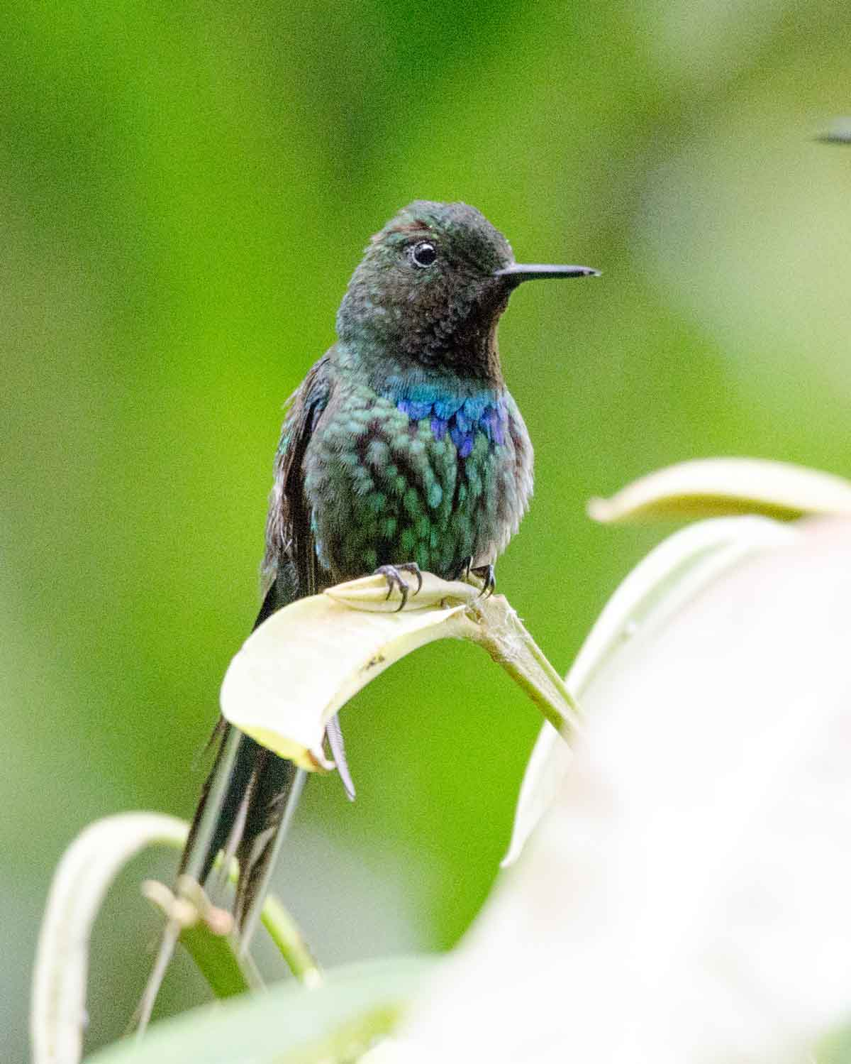 A Green Thorntail hummingbird seen at the Mindo Cloud Forest Foundation | ©Angela Drake