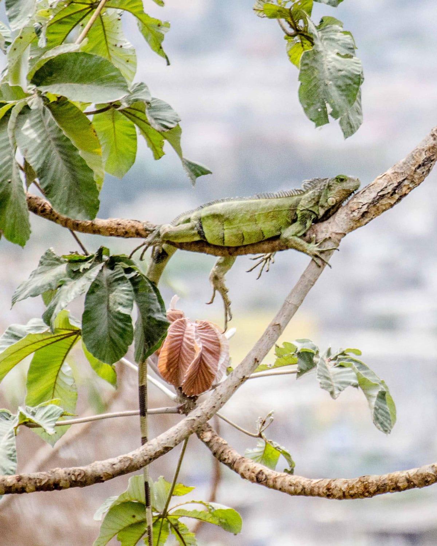 Iguana Looking Out at Guayaquil, Ecuador | ©Angela Drake
