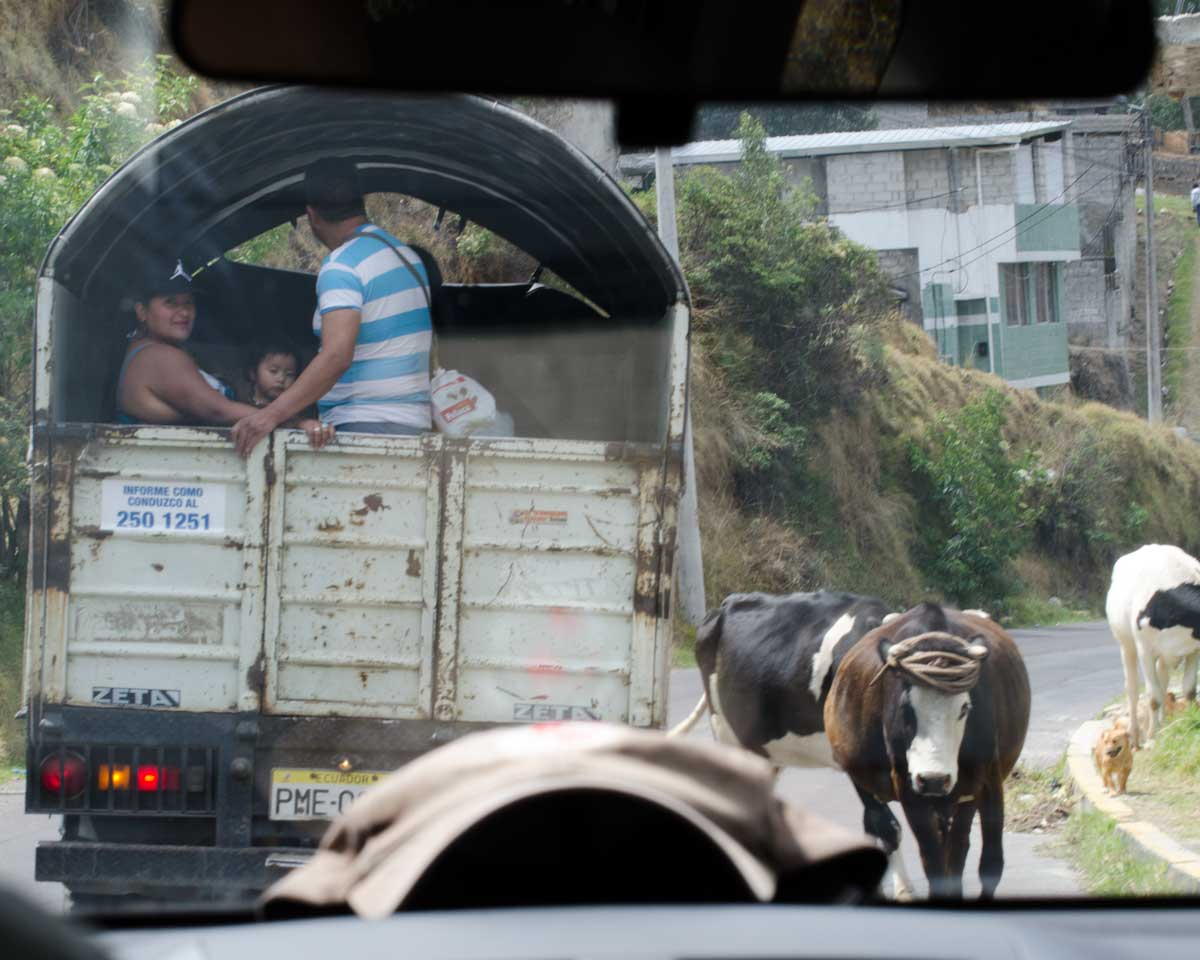 Cows on North Quito streets | ©Angela Drake