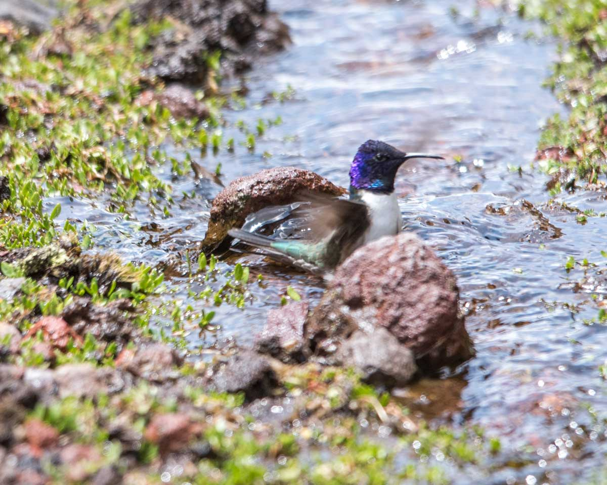 Star of Chimborazo hummingbird wading in the stream, Chimborazo Wildlife Preserve, Ecuador   ©Angela Drake