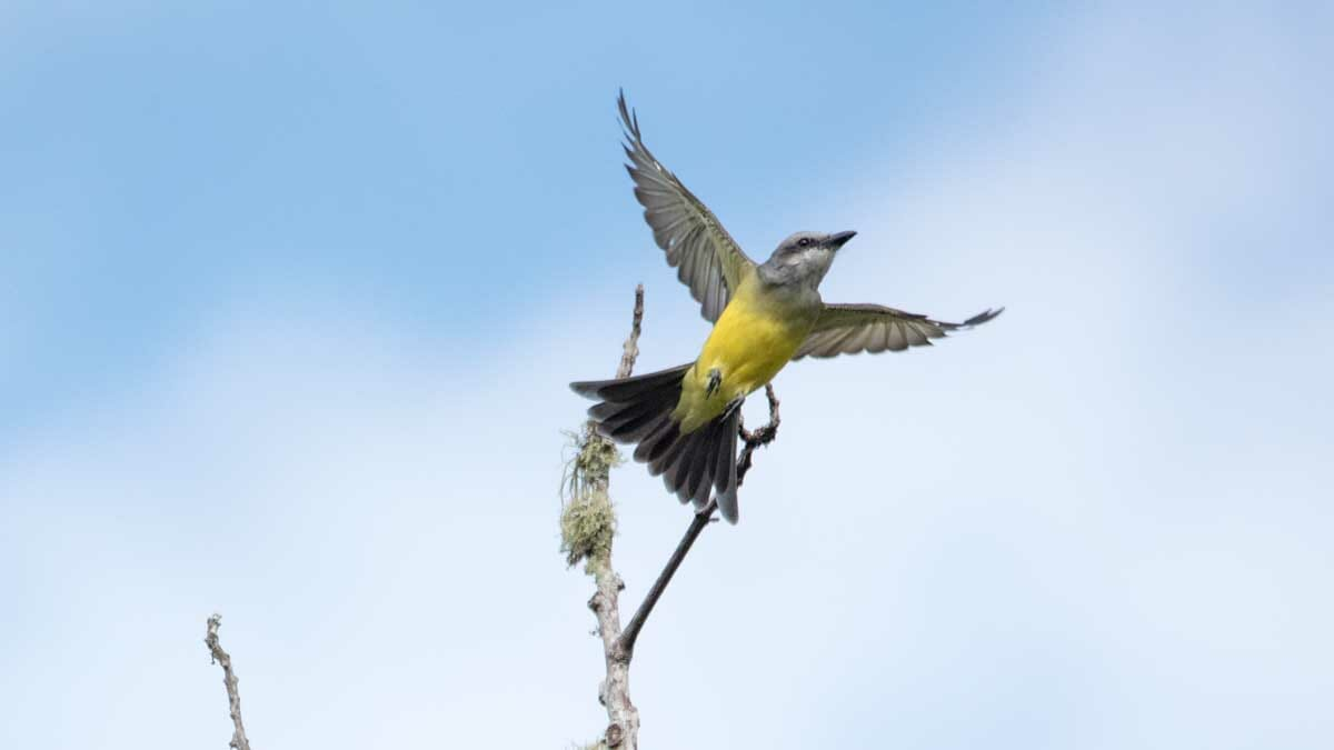Gray-crowned Flycatcher, San Agustín, Colombia | ©Angela Drake