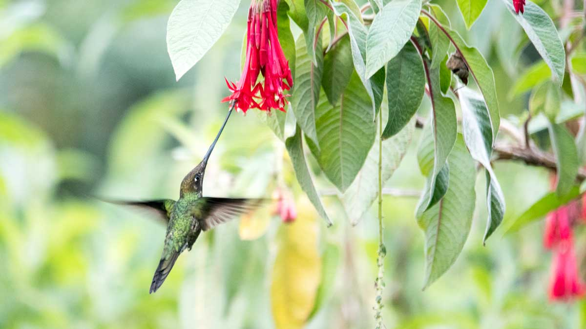 Sword-billed Hummingbird, Quito Botanical Garden, Ecuador | ©Angela Drake