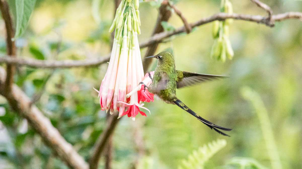 Black-tailed Trainbearer, female, Quito Botanical Garden, Ecuador | ©Angela Drake