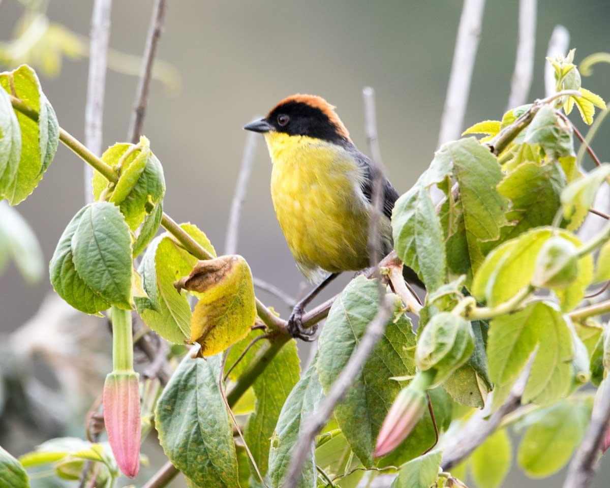 Yellow-breasted Brushfinch, Tambo Condor, Ecuador | ©Angela Drake