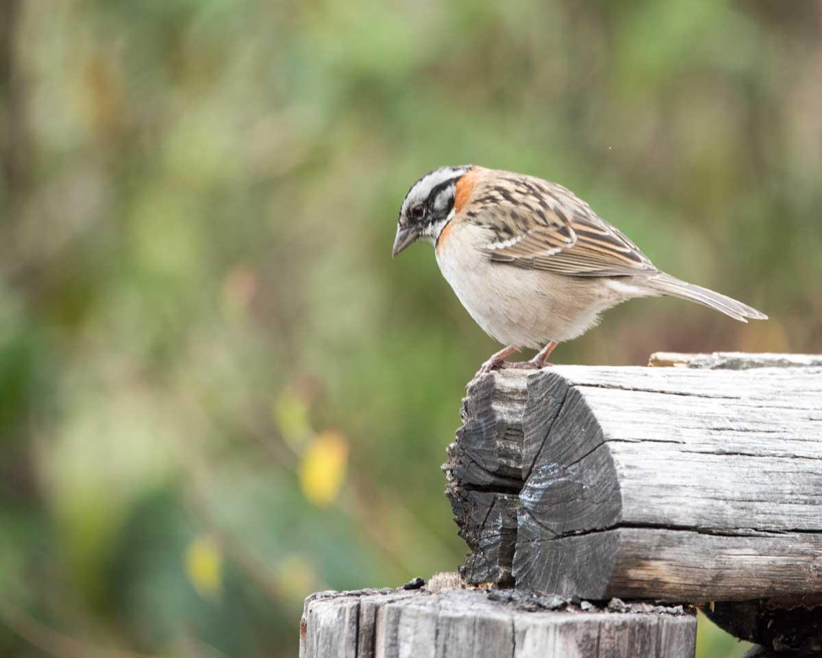 Rufous-collared Sparrow, Tambo Condor, Ecuador | ©Angela Drake
