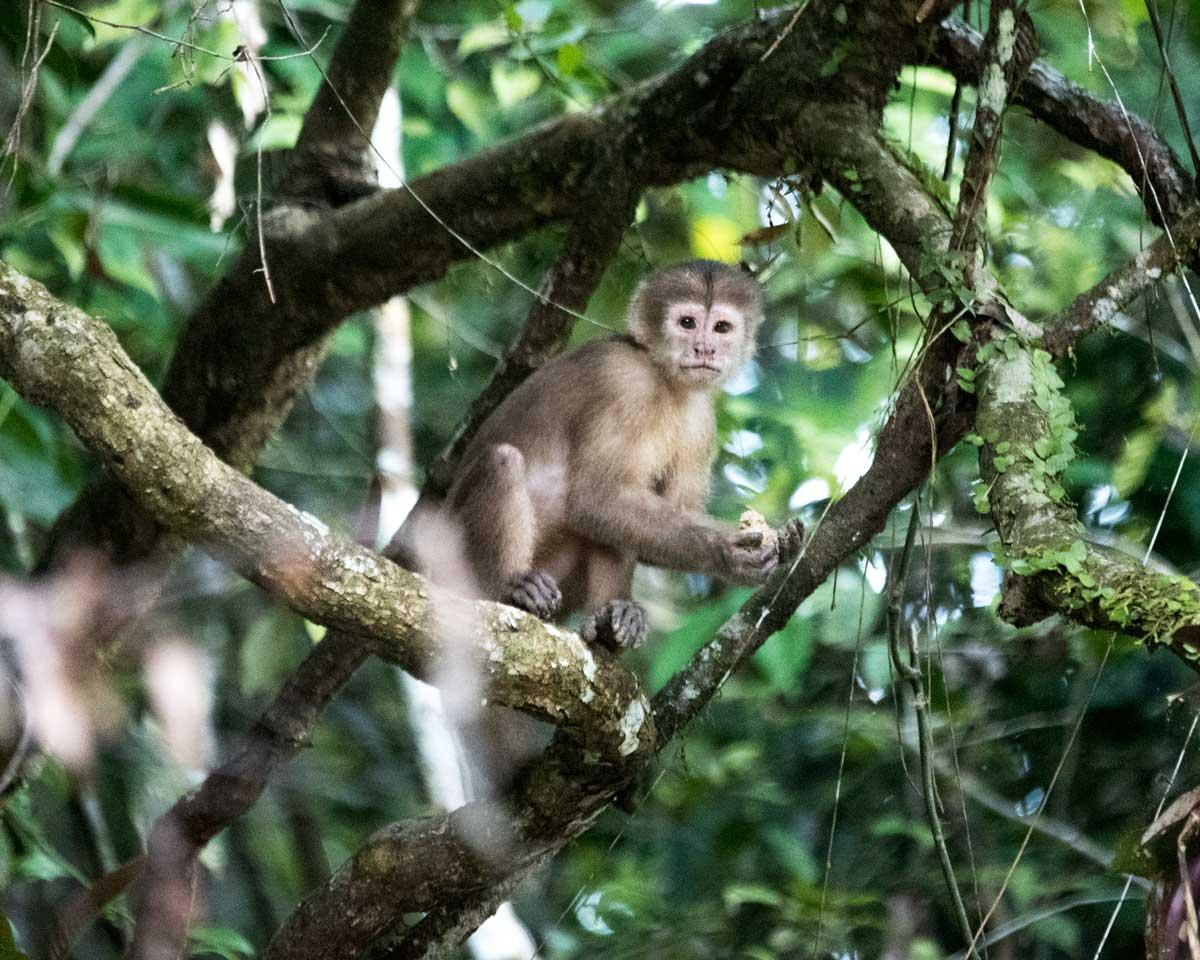 Capuchin Monkey; Upper Cuyabeno, Ecuador | ©Angela Drake
