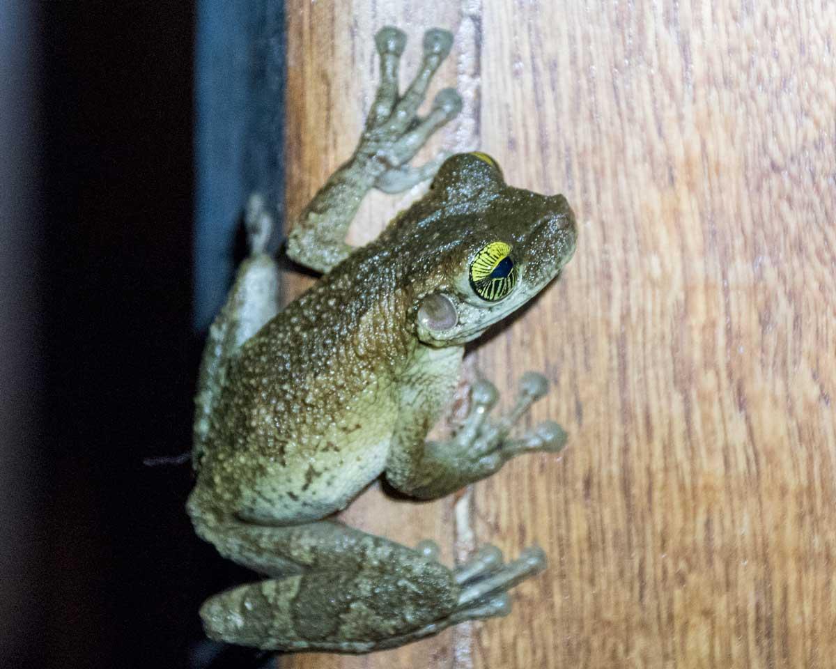 Unidentified Frog; Dracaena Lodge, Cuyabeno, Ecuador | ©Angela Drake