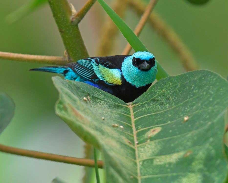 Blue-necked Tanager, La Bikok Ecolodge, Mindo, Ecuador | ©Nicolaj Ullmann