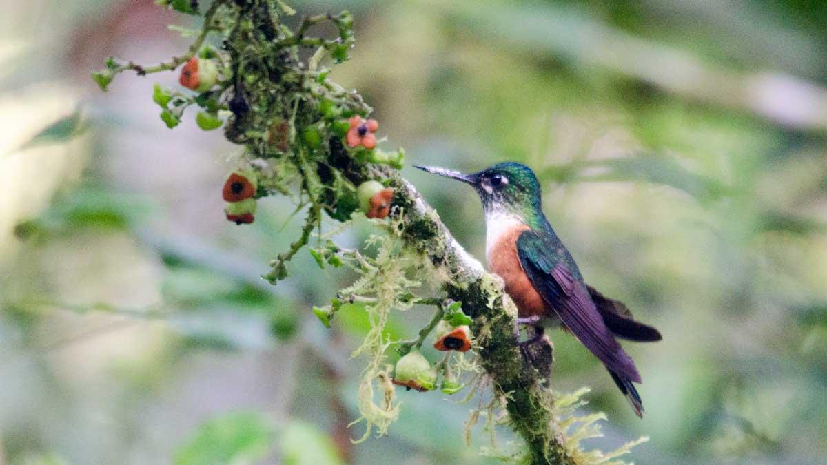The Violet-tailed Sylph (Aglaicercus coelestis), San Jorge de Tandayapa, Ecuador | ©Angela Drake