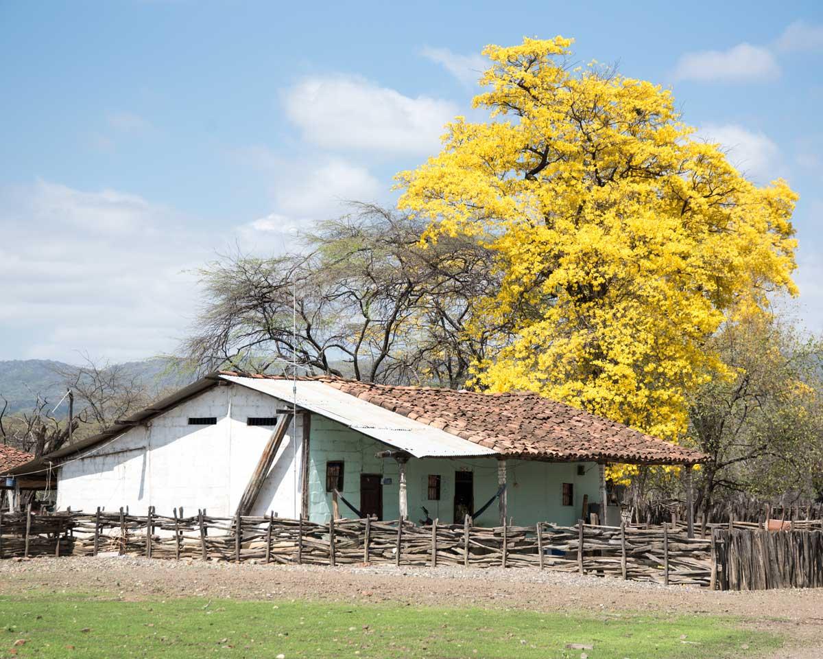 A brilliant Guayacan with local farmhouse; Cazaderos, Ecuador | ©Angela Drake