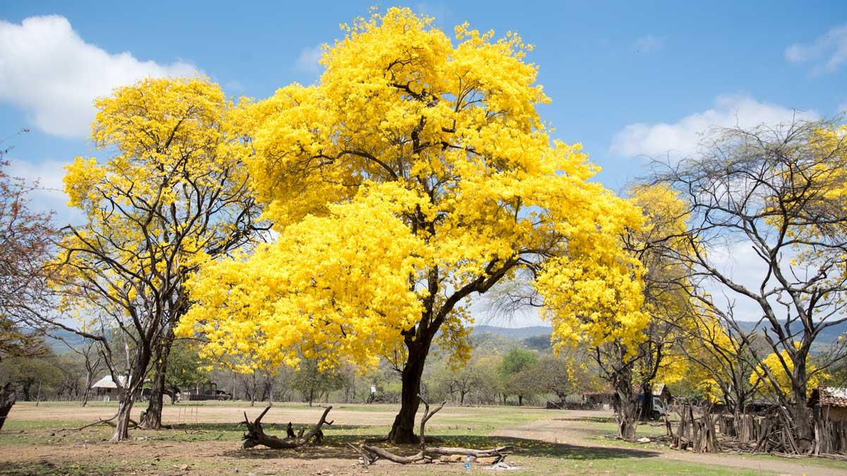 Brilliant Yellow Guayacan; Cazaderos, Ecuador | ©Angela Drake