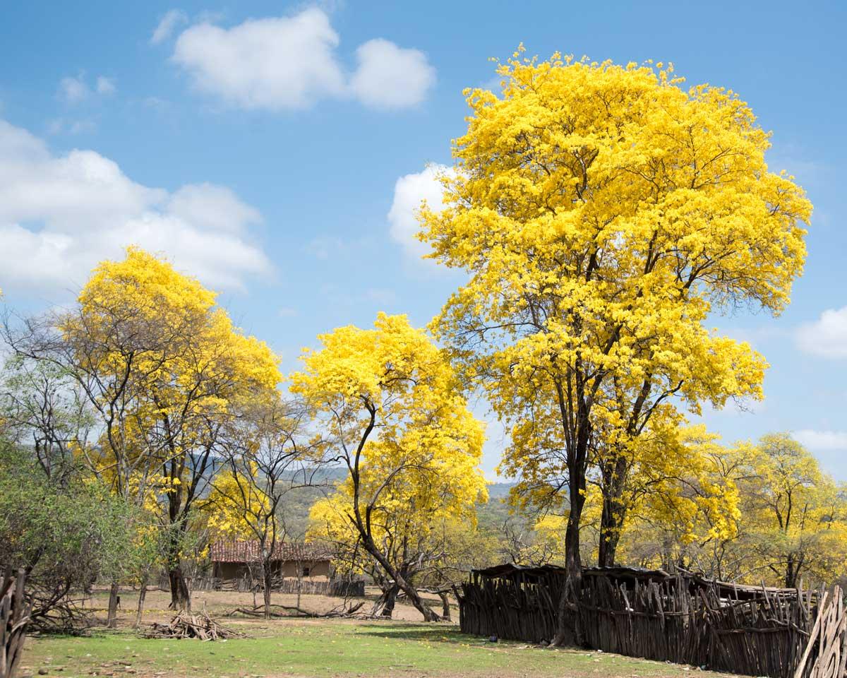 Guayacanes in Cazaderos, Ecuador | ©Angela Drake