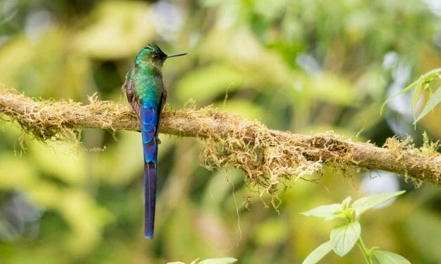 A Stunning Long-Tailed Hummingbird Near Quito