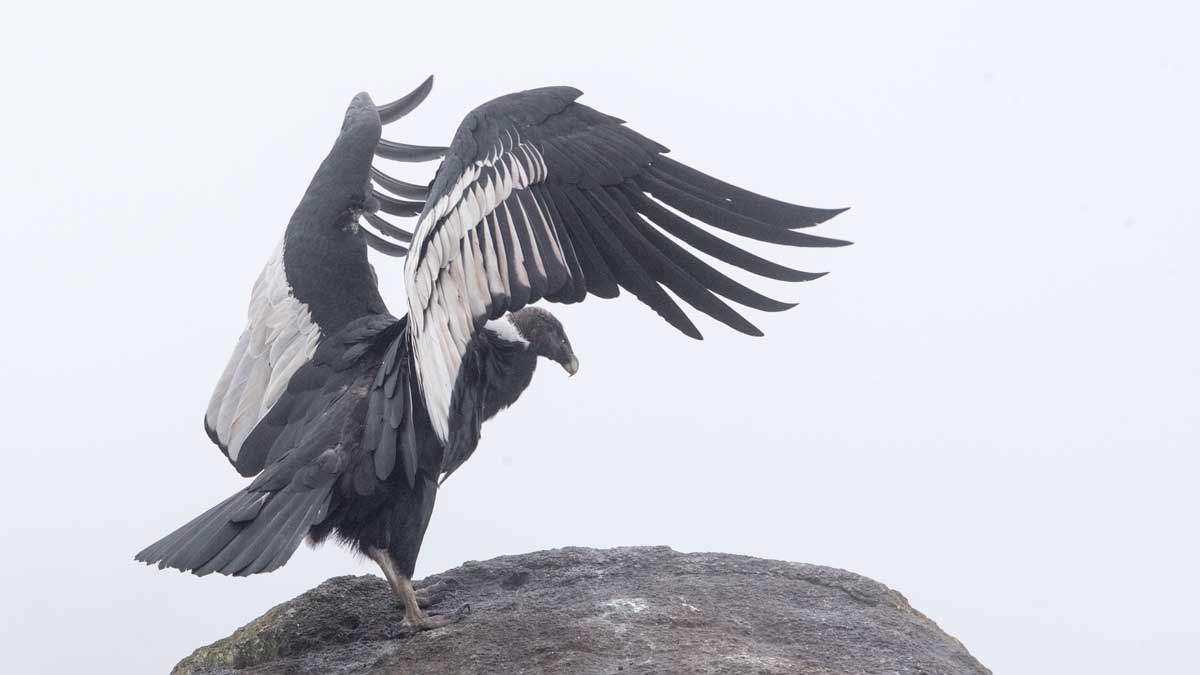 Wingtips of an Andean Condor, Purace, Colombia | ©Angela Drake
