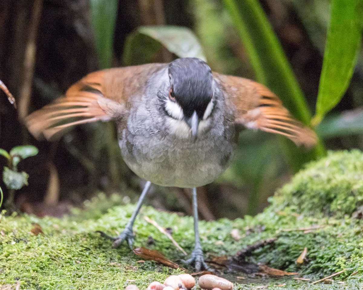 The Jocotoco Antpitta hungry for breakfast, Tapichalaca Reserve, Southern Ecuador | ©Angela Drake
