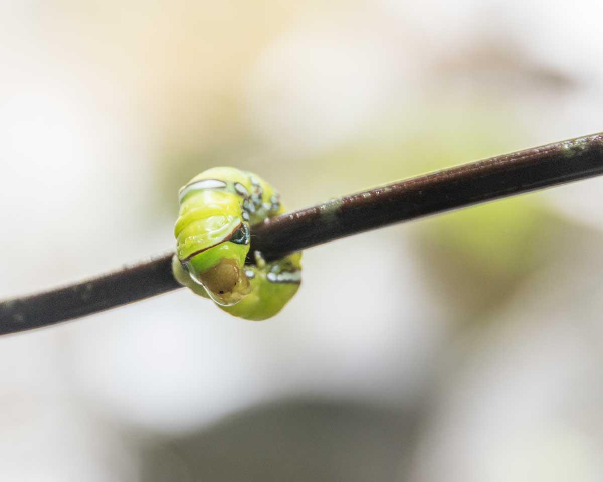Caterpillar, Guizhaguiña, Ecuador | ©Angela Drake