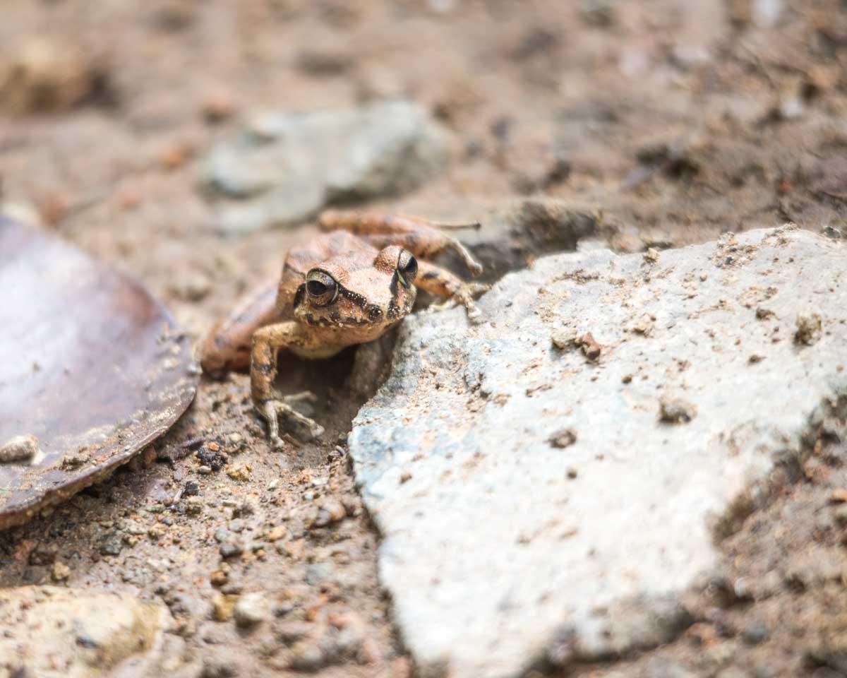 Zurucuchu Robber Frog, Guizhaguiña, Ecuador | ©Angela Drake