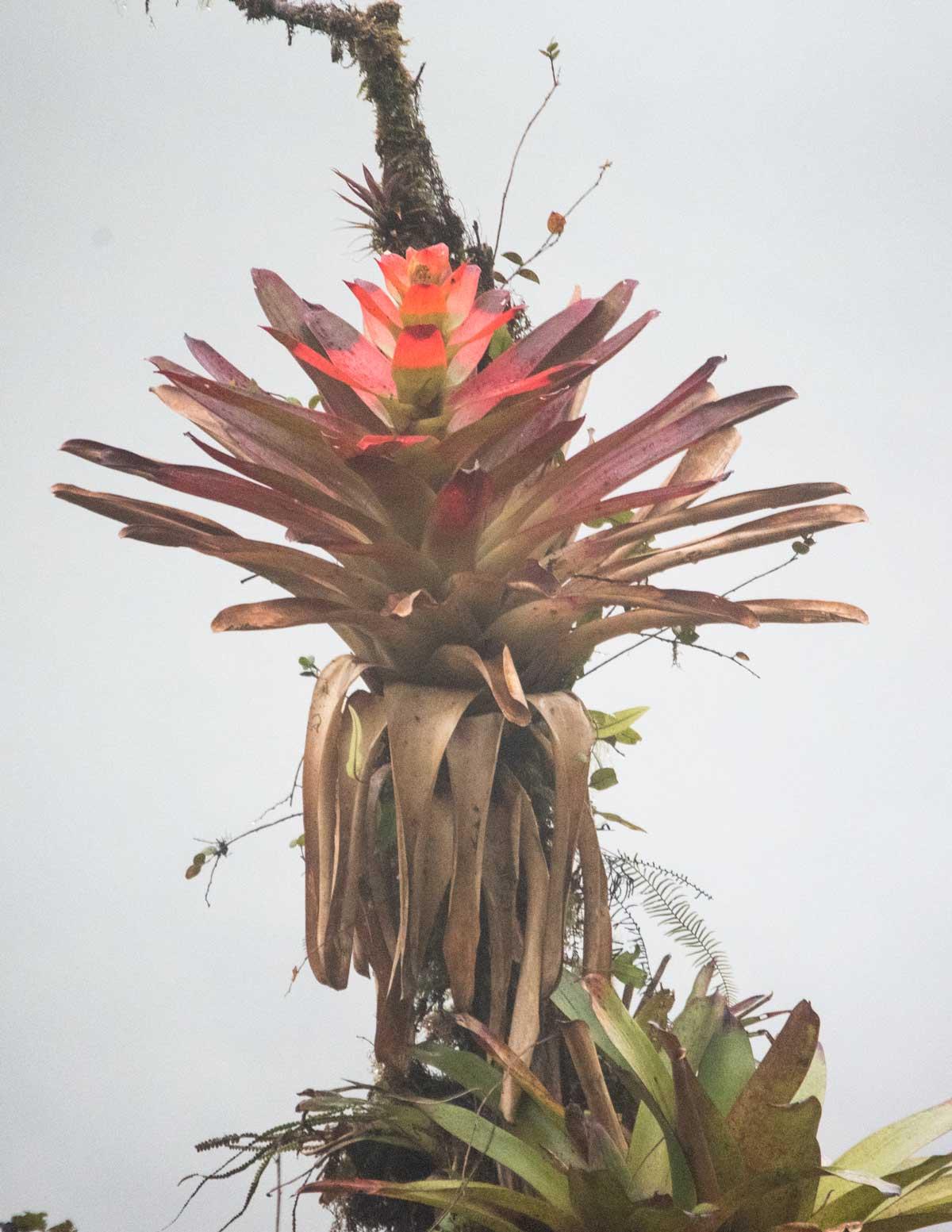 A red bromeliad shines even on rainy day, Tapichalaca Reserve, Ecuador | ©Angela Drake