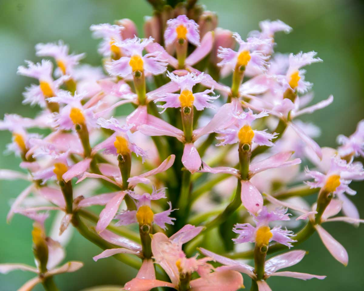 Flor de Cristo Orchid, Tapichalaca Reserve, Ecuador | ©Angela Drake