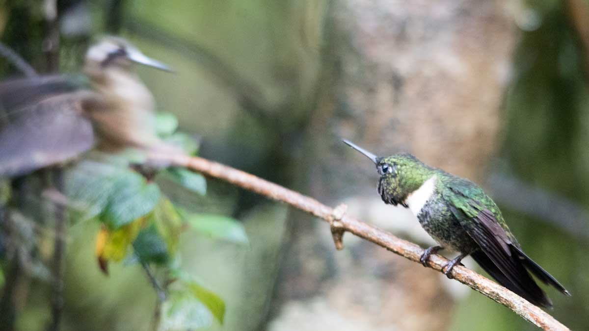 Gorgeted Sunangel threatens a Speckled Hummingbird, Tapichalaca Reserve, Ecuador | ©Angela Drake